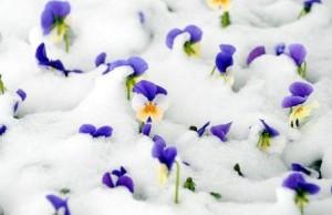 snow-pansies_1372258i